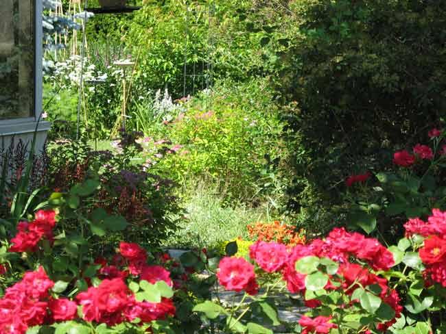 Dans mon jardin,  Rosier rustique Champlain